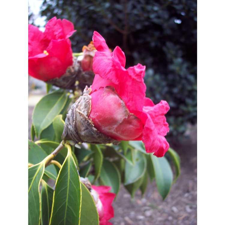 Camellia chekiangoleosa