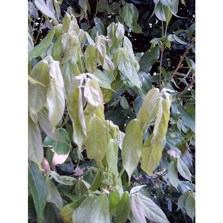 Acer coriaceifolium
