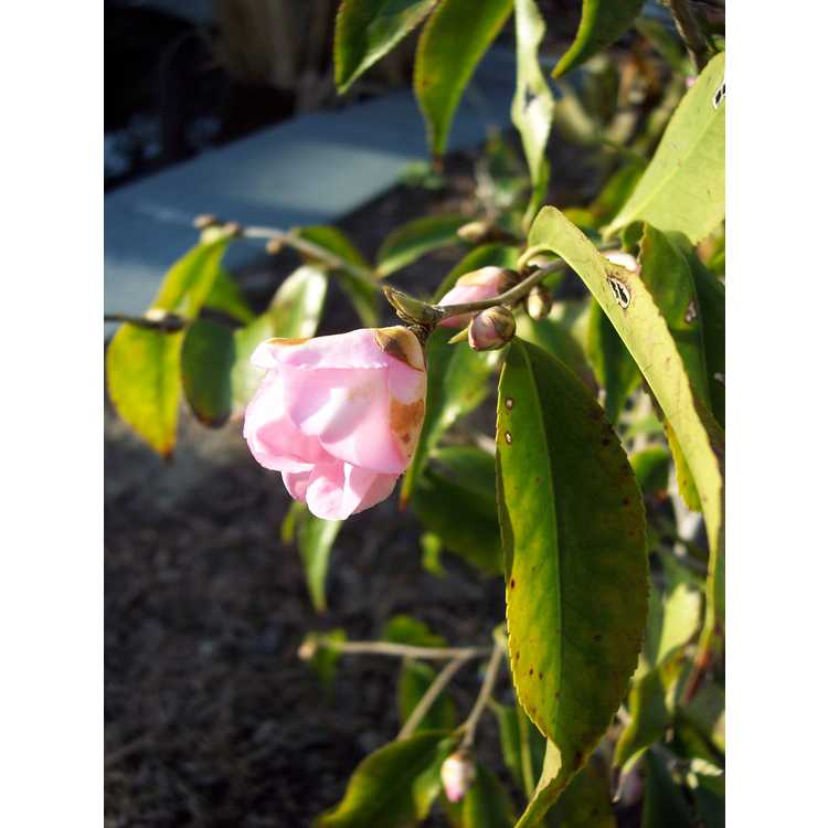 Camellia 'Blushing Fountains'