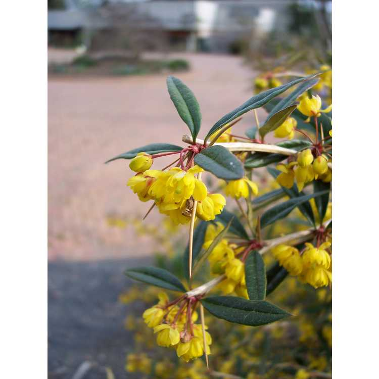 Berberis julianae 'Spring Glory' - wintergreen barberry