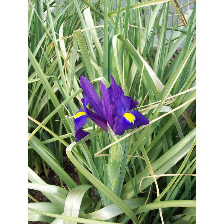 Iris 'Acapulco' - Dutch iris