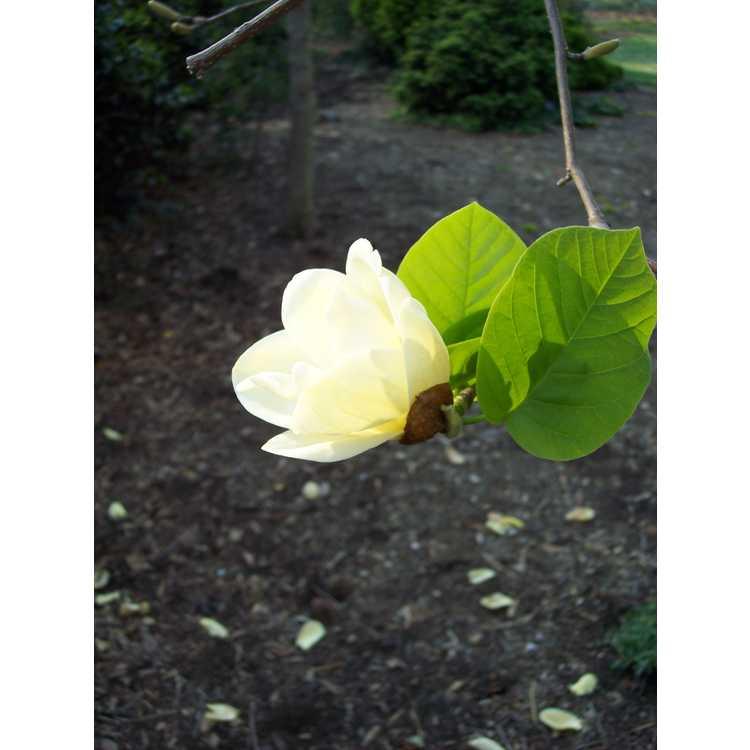 Magnolia 'Lois' - Brooklyn Botanic Garden hybrid magnolia