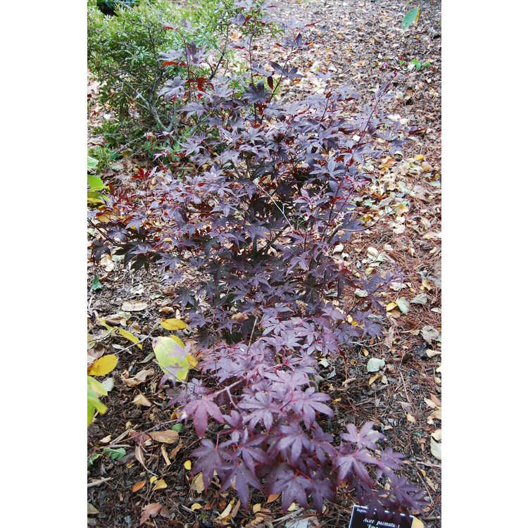 Acer palmatum 'Emperor I' - purple-leaf Japanese maple