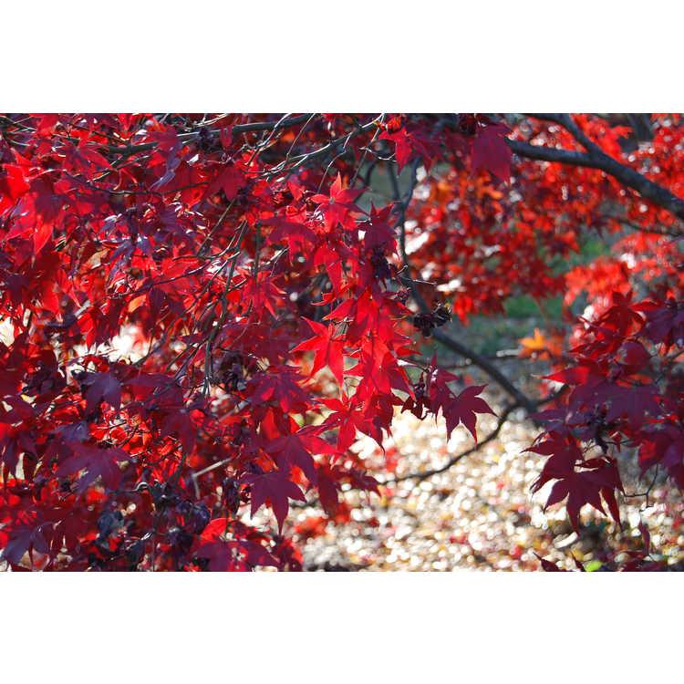 Acer palmatum 'Margaret Bee' - purple-leaf Japanese maple
