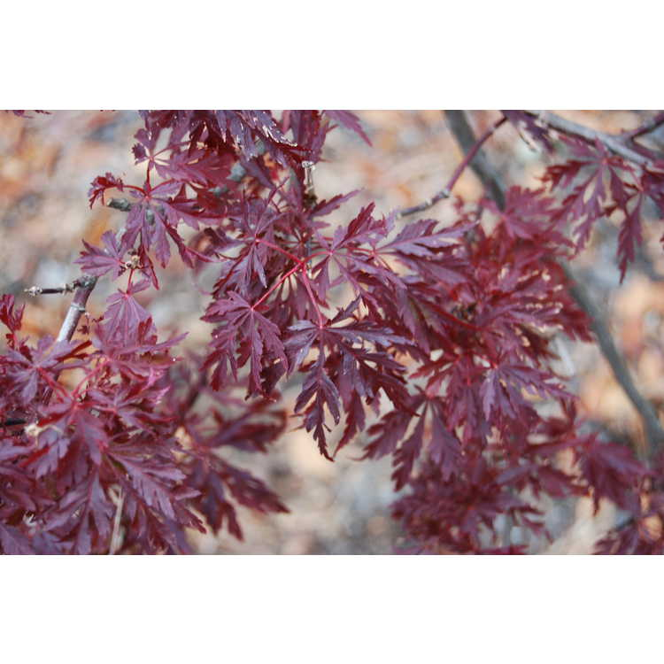 Acer palmatum 'Red Dragon'