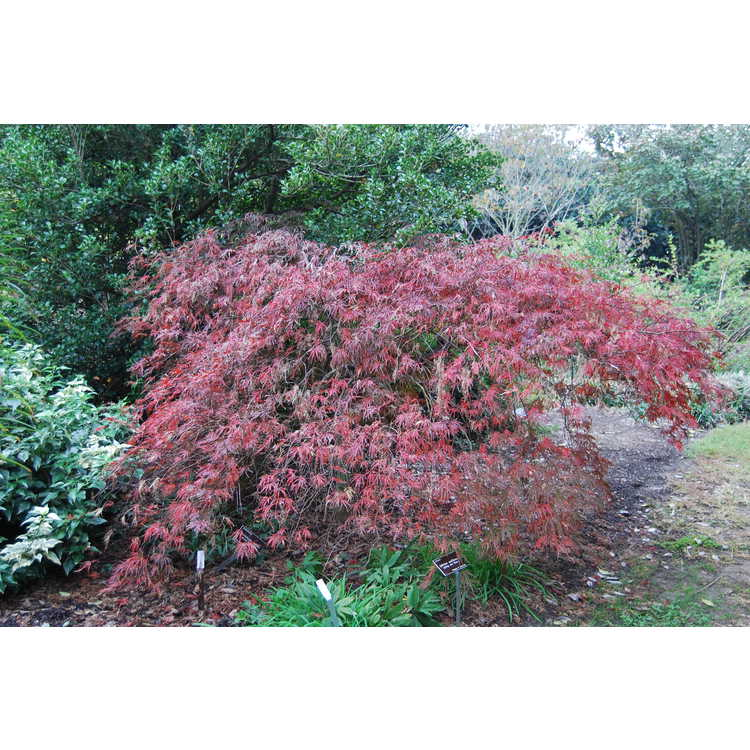 Acer palmatum 'Red Select'