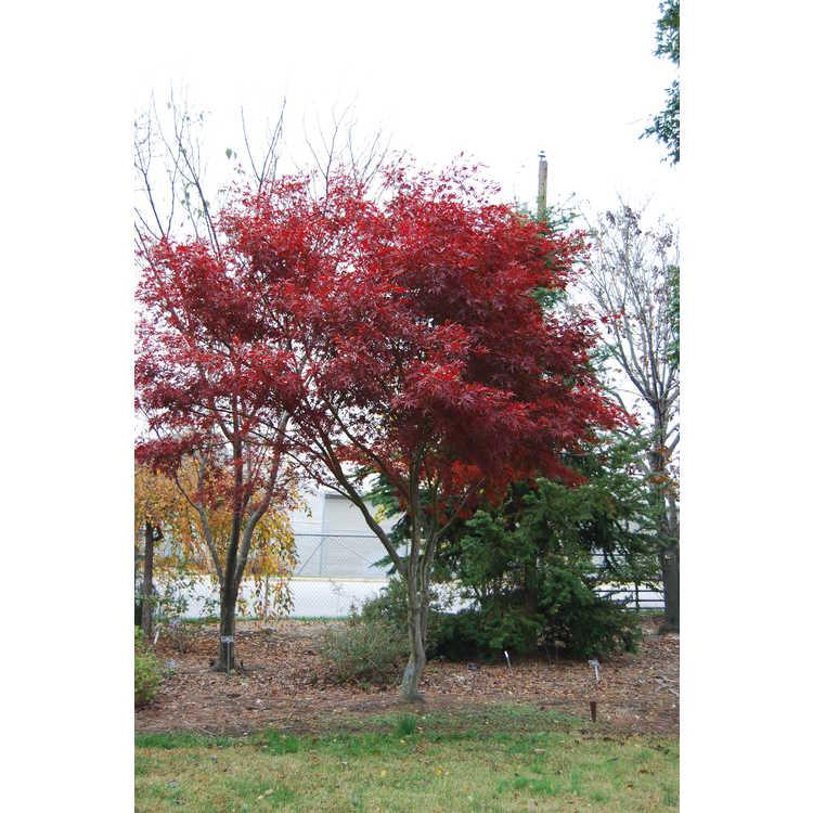 Acer palmatum 'Sumi Nagashi'