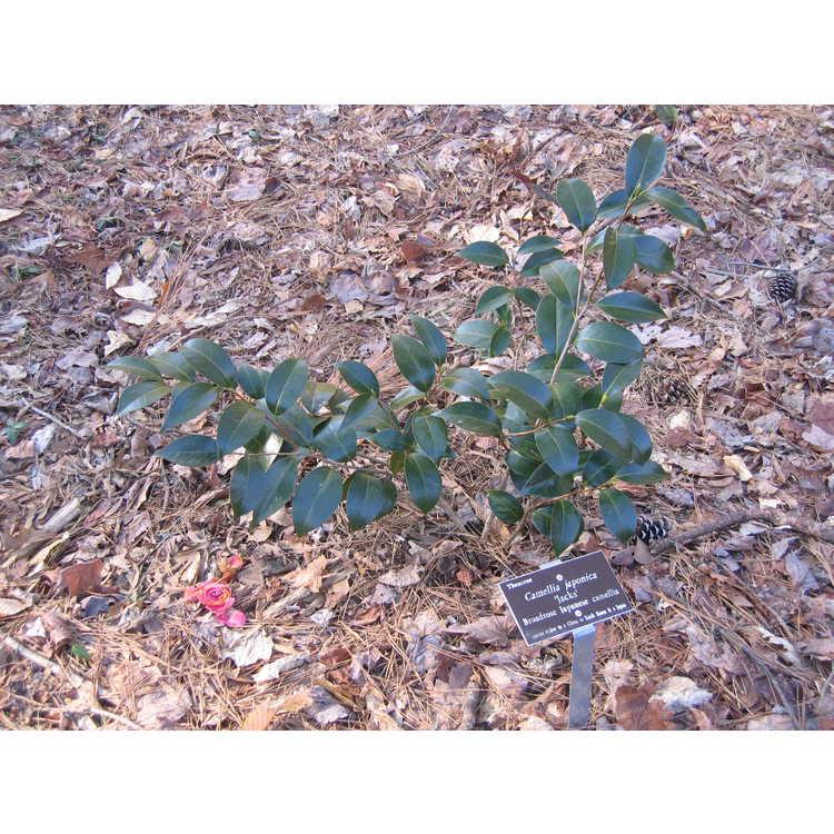 Camellia japonica 'Jacks' - Broadrose Japanese camellia