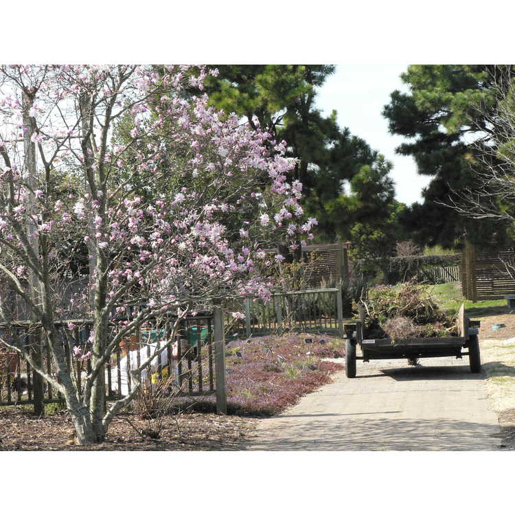 Magnolia stellata 'Chrysanthemumiflora'