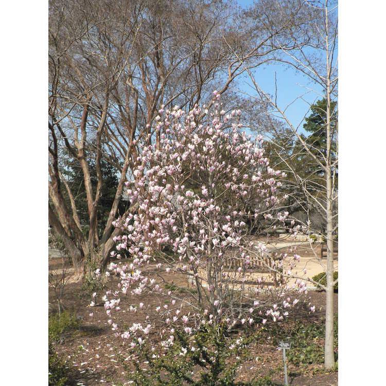 Magnolia soulangeana Lilliputian