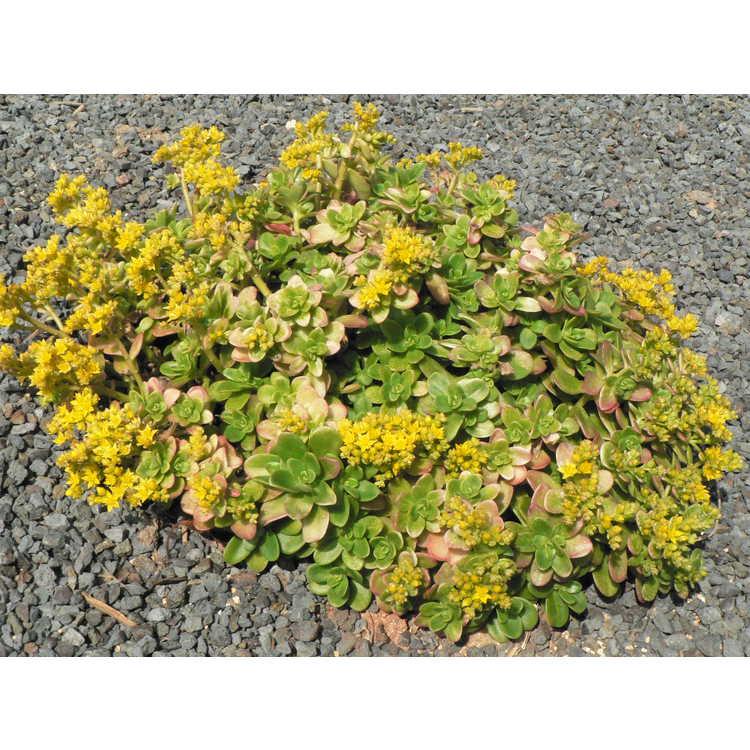 Sedum confusum - Mexican stonecrop