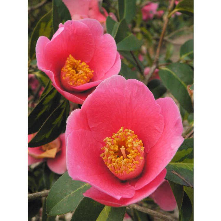 Camellia ×williamsii 'Golden Spangles'
