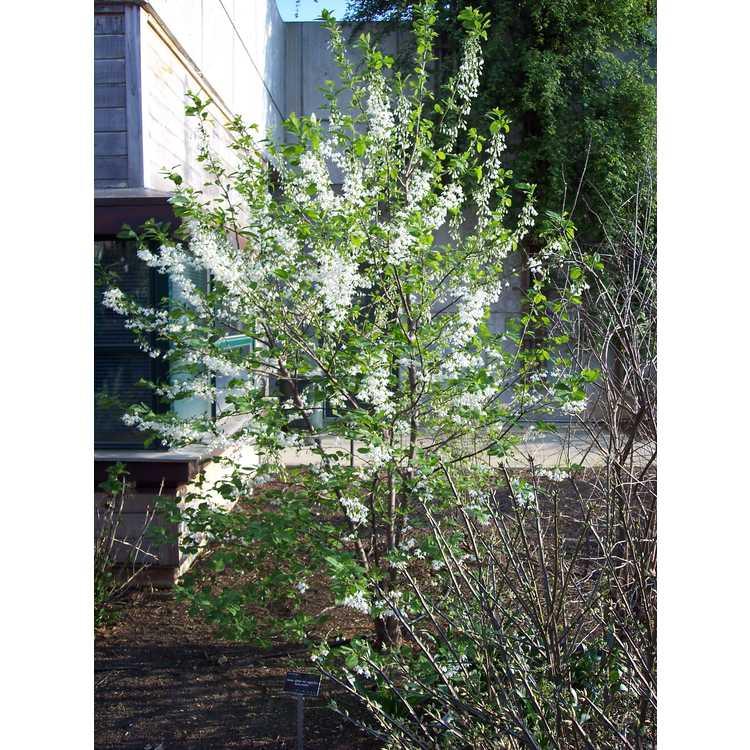 Halesia diptera magniflora
