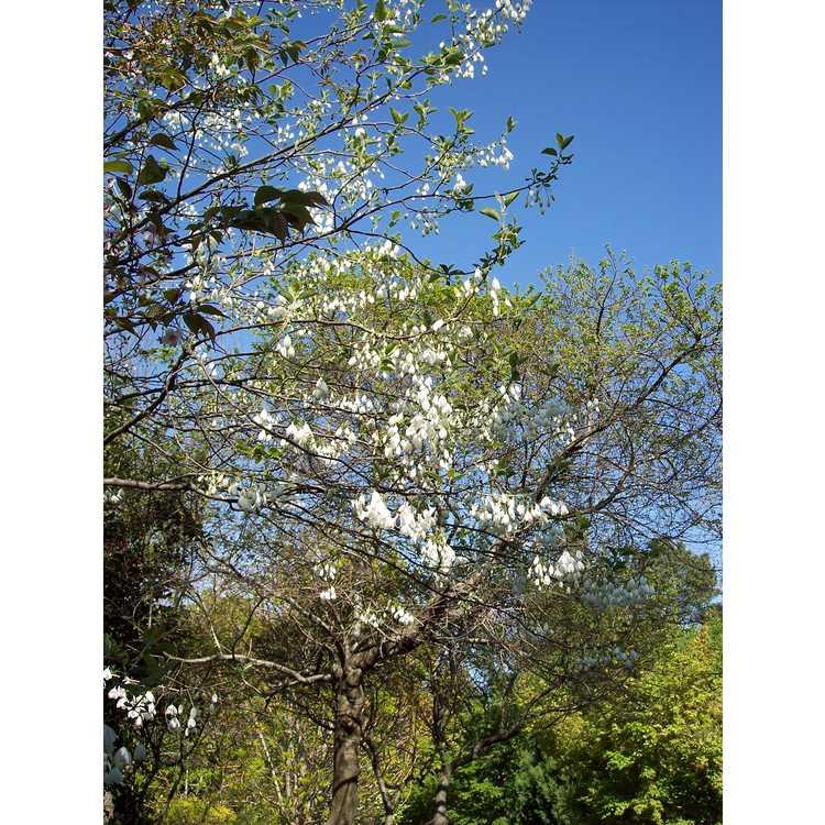 Halesia diptera var. magniflora - Florida silverbell