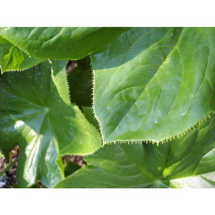 Podophyllum pleianthum - Chinese mayapple