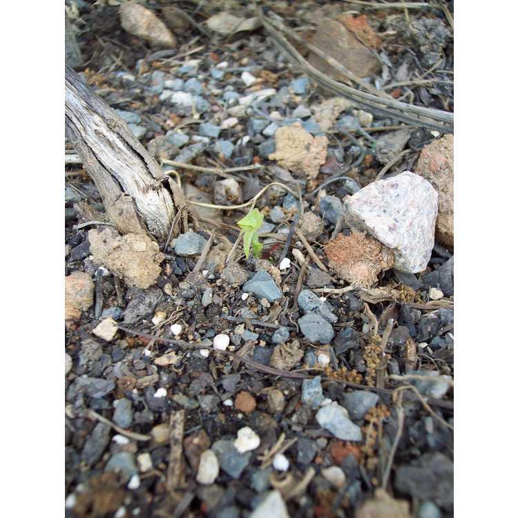 Passiflora 'Lady Margaret'