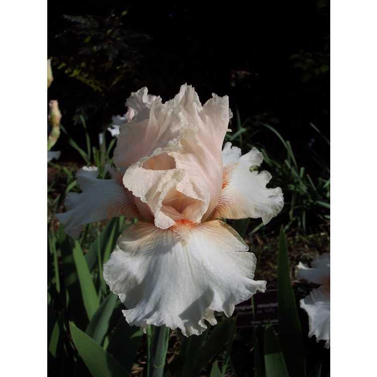 Iris 'Noble Lady' - tall bearded iris