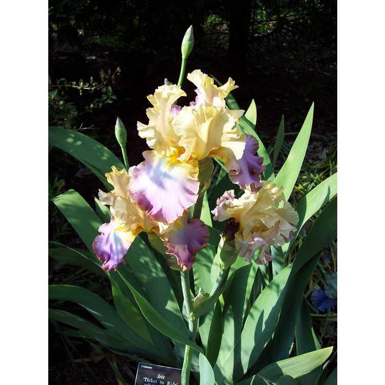 Iris 'Ticket to Ride' - tall bearded iris