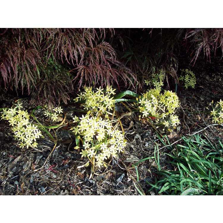 Triteleia ixioides 'Starlight' - pretty-face