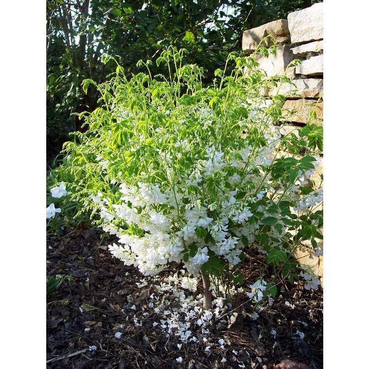 Indigofera decora f. alba - white Chinese indigo