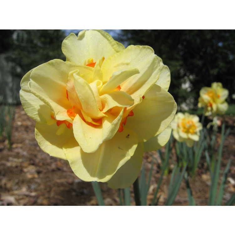 Narcissus 'Tahiti' - double daffodil