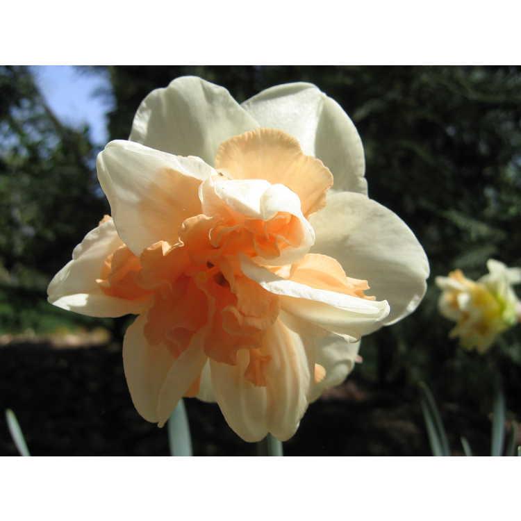 Narcissus - daffodil