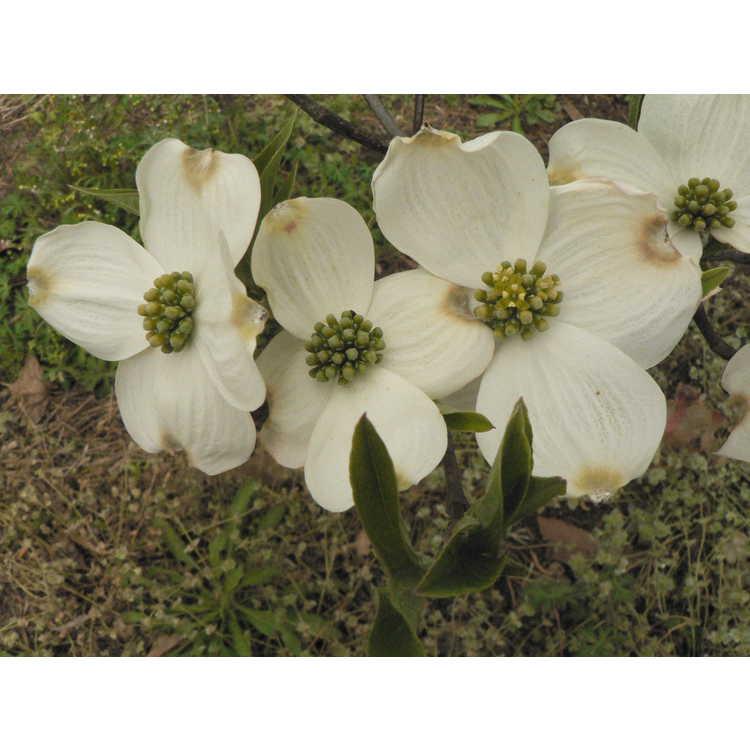 Cornus florida Pygmaea