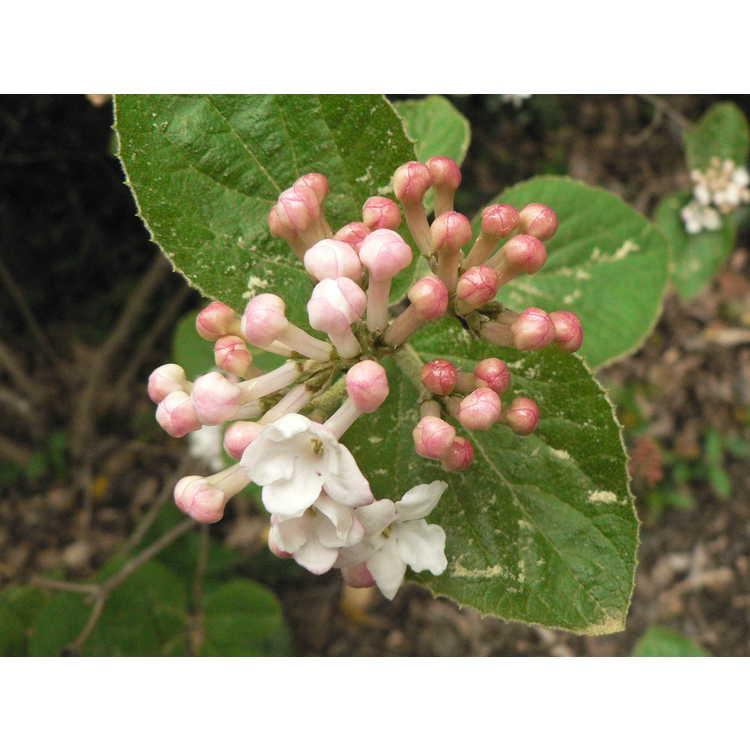 Viburnum 'Eskimo' - Egolf hybrid viburnum