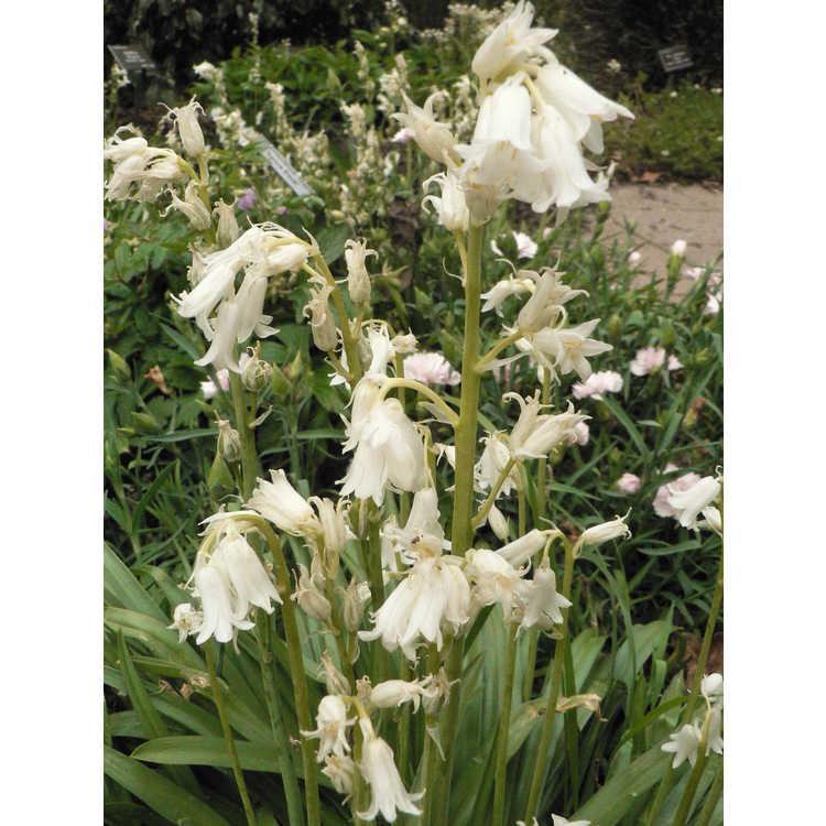 Hyacinthoides hispanica Alba