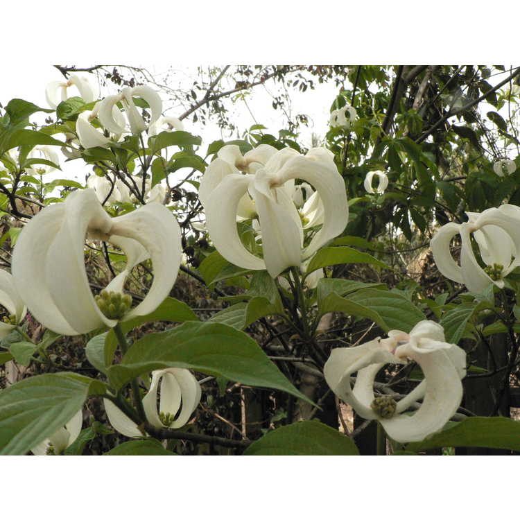 Cornus florida subsp. urbiniana - Mexican flowering dogwood