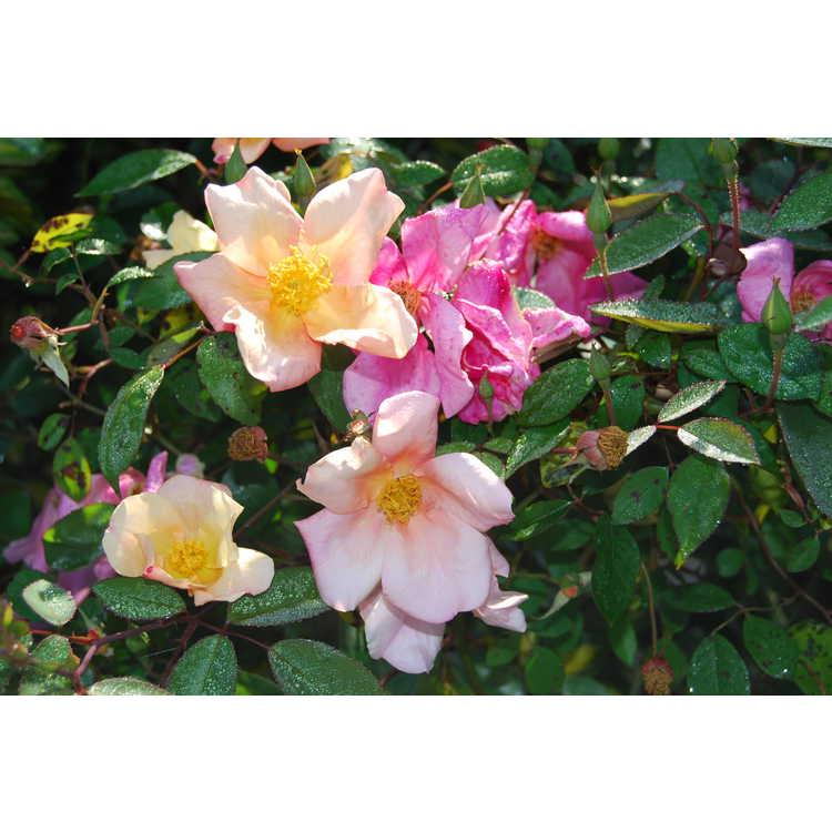 Rosa odorata Mutabilis
