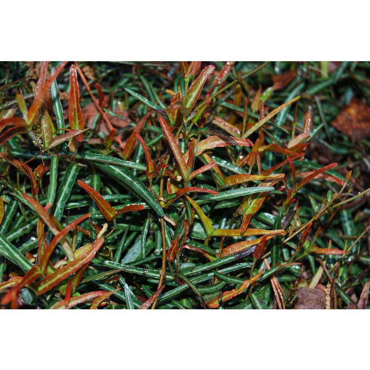 Trachelospermum asiaticum 'Theta' - narrowleaf Asiatic jessamine