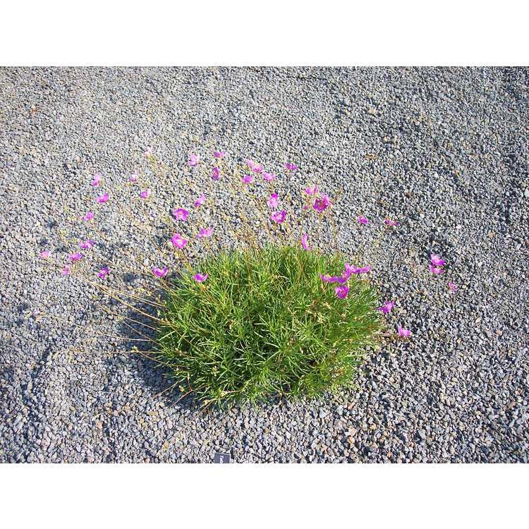 Phemeranthus calycinus - cherry sunbright