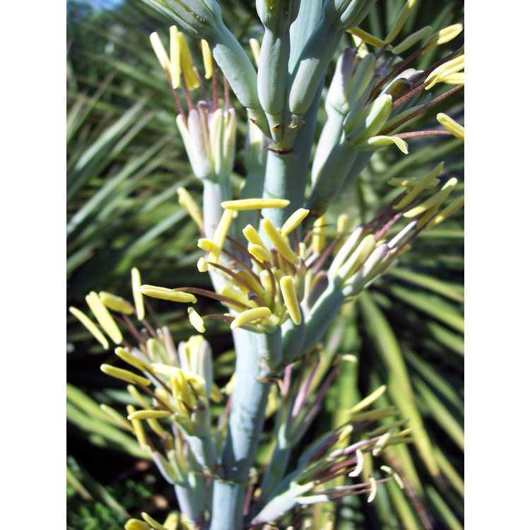 Agave lophantha - thorn-crested agave