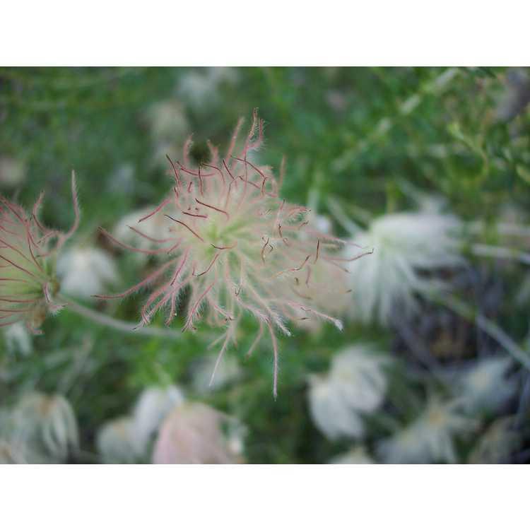 Fallugia paradoxa - Apache plume