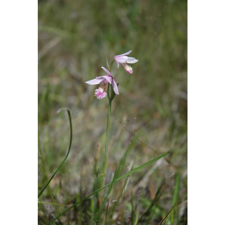 Pogonia ophioglossoides - snakemouth orchid