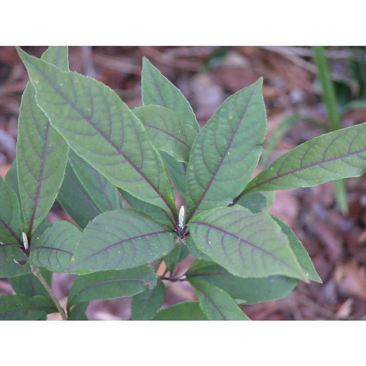 Callicarpa kwangtungensis - Guangdong beautyberry