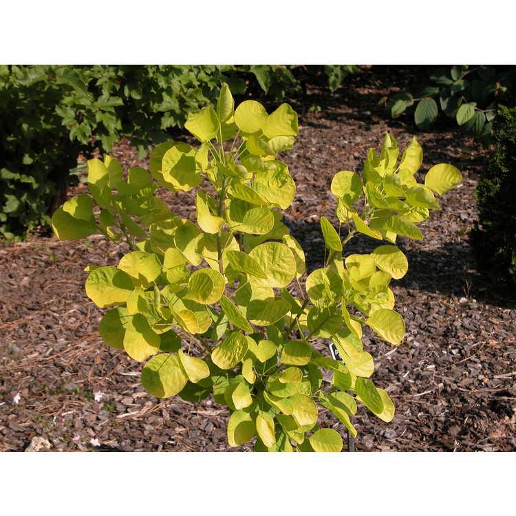 Cotinus coggygria 'Ancot' - Golden Spirit golden smokebush