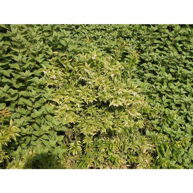 Agarista populifolia 'Taylors Treasure'