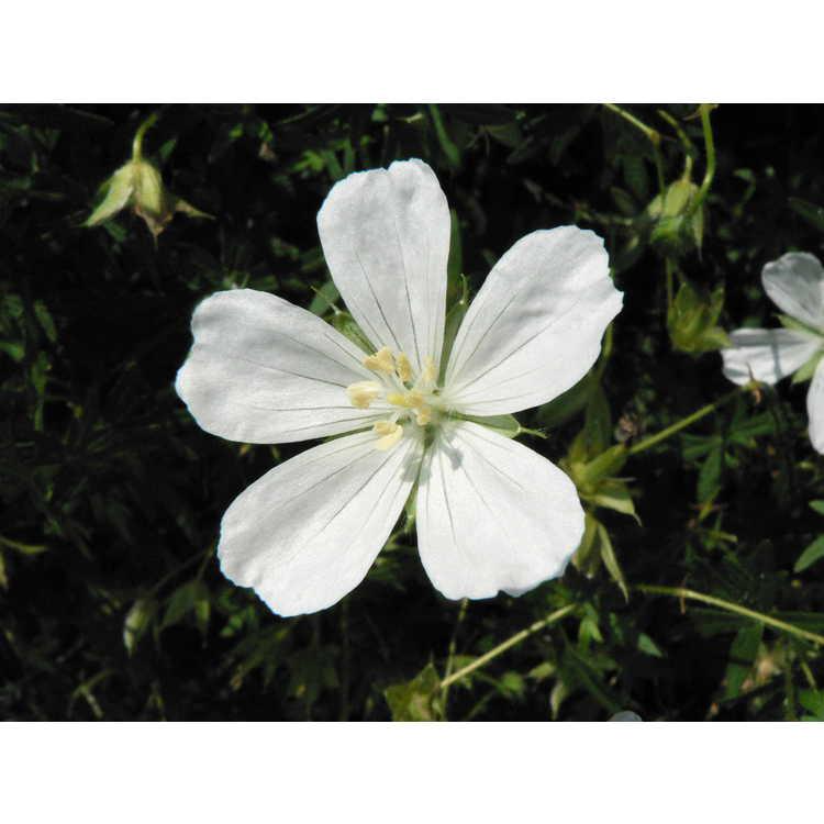 Geranium sanguineum 'Album' - white bloody cranesbill