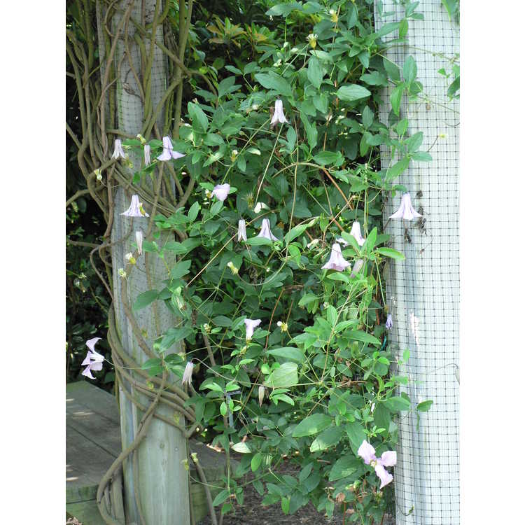 Clematis 'Betty Corning' - garden hybrid clematis