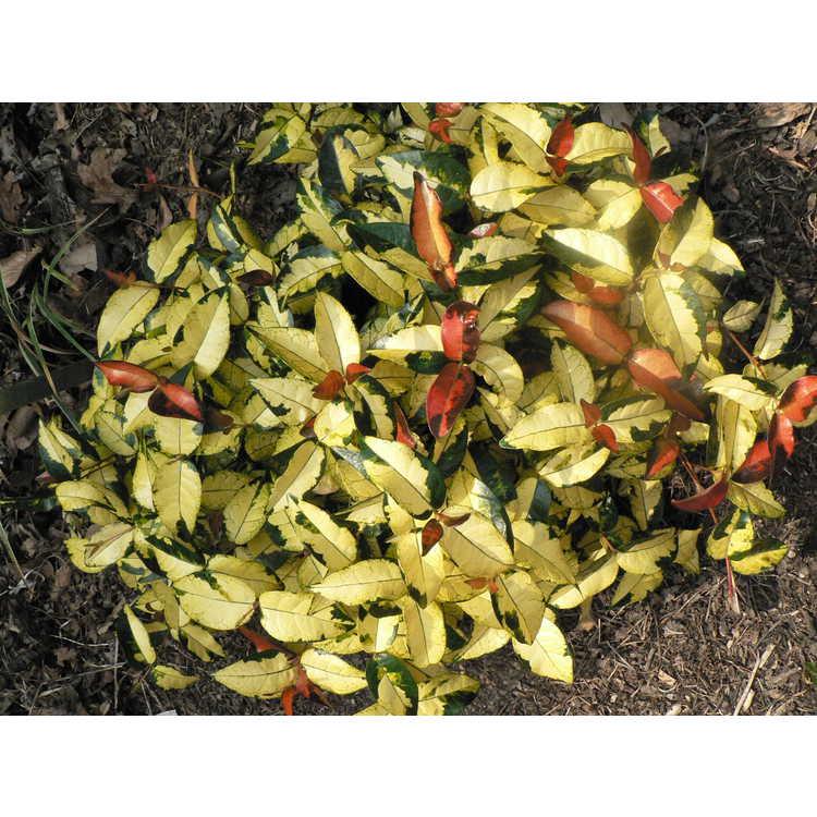 Trachelospermum asiaticum 'Ougon Nishiki'