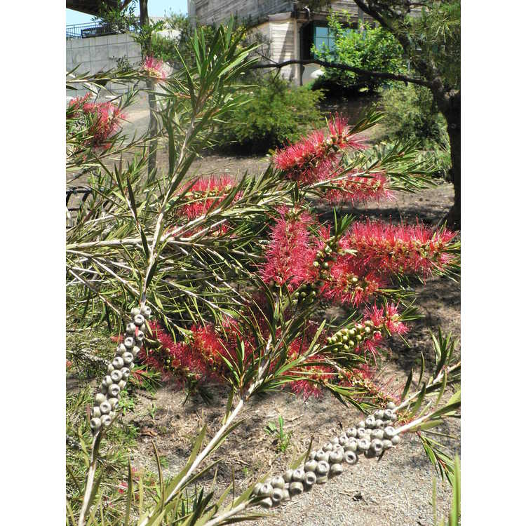 Callistemon Woodlanders Red