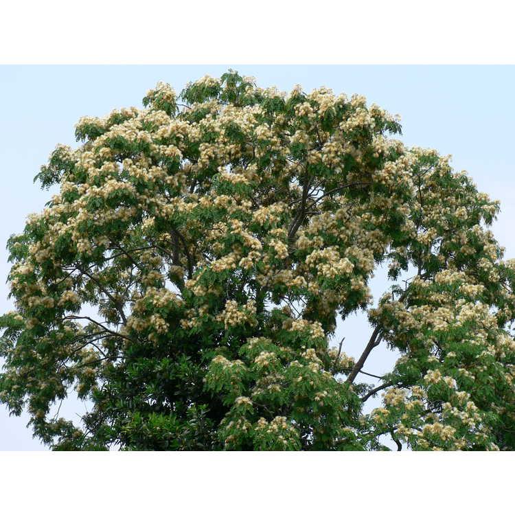 Albizia coreana - Korean mimosa