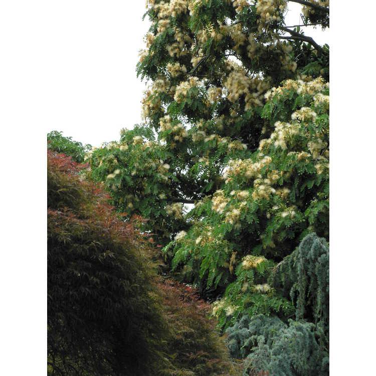 Acer palmatum Dissectum Atropurpureum Group