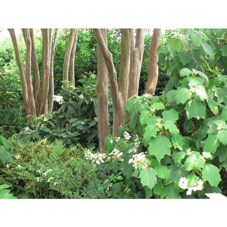 Hydrangea quercifolia 'Alison'