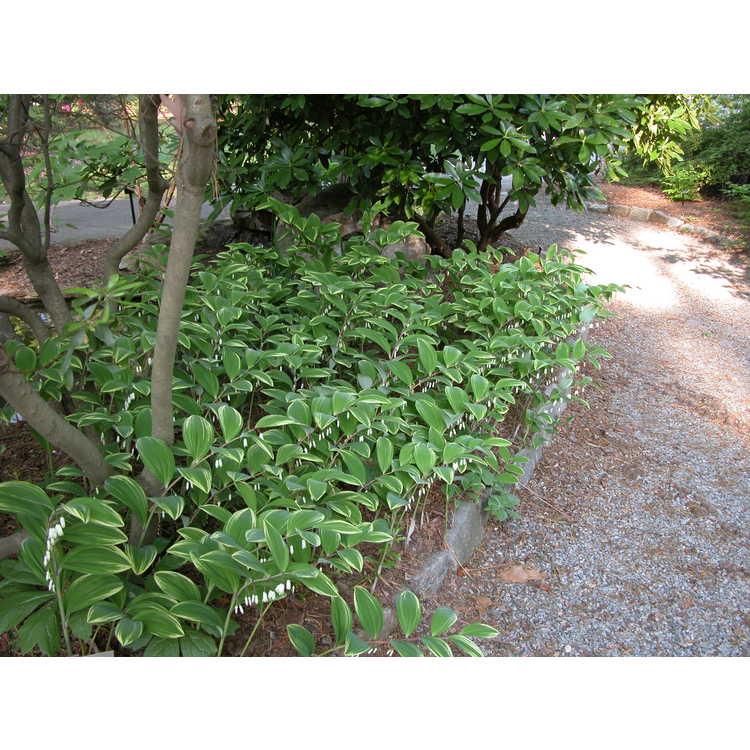 JC Raulston Arboretum - Photographs of <em>Polygonatum