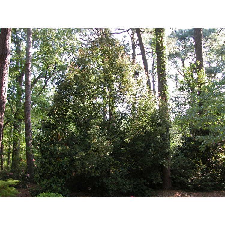 Quercus myrsinifolia - Chinese evergreen oak