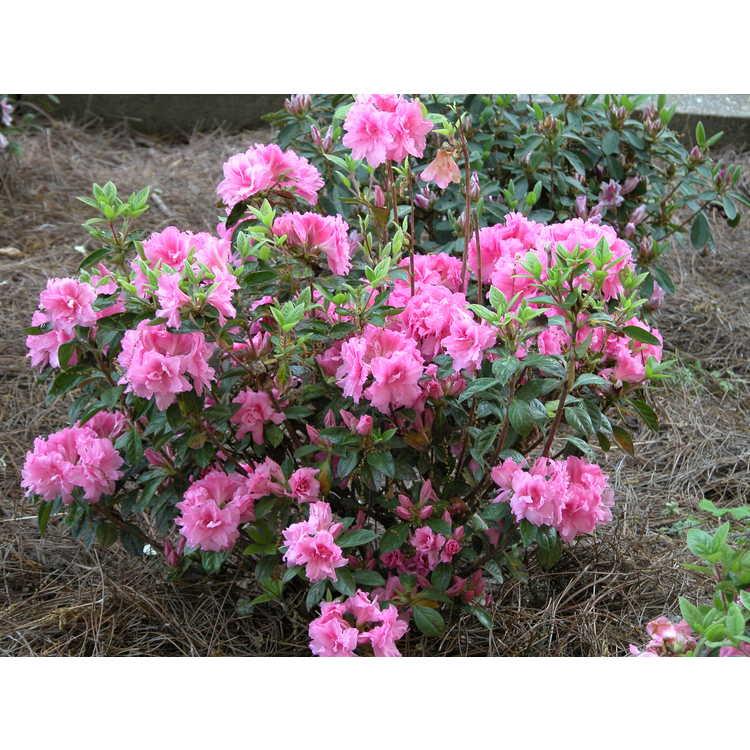 Autumn Carnation Encore Azalea Rhododendron Roblec