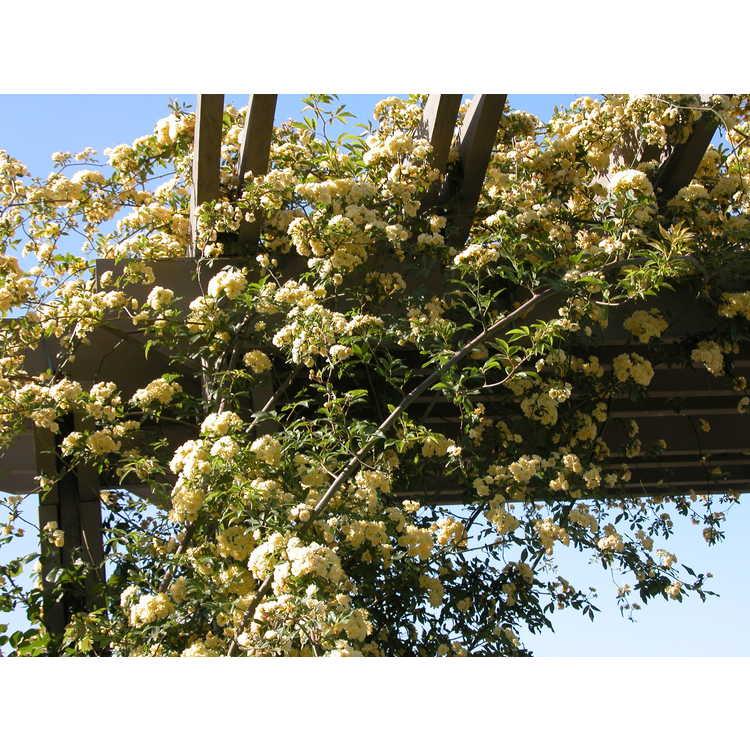 Rosa banksiae 'Lutea' - Lady Banks' rose